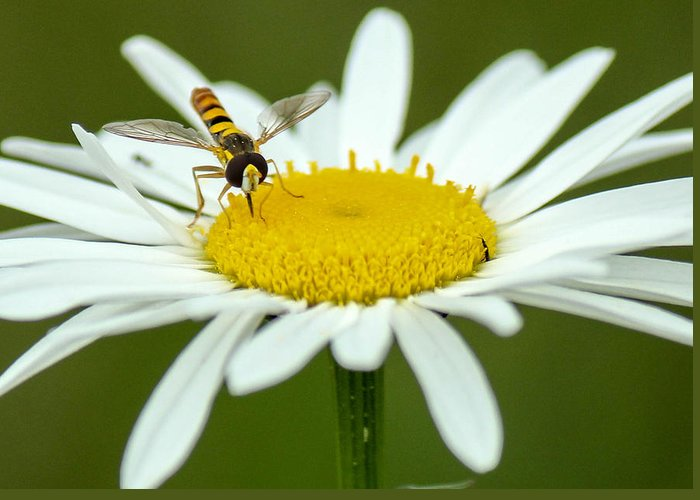 Nature Greeting Card featuring the photograph Daisy by Frank Selvage