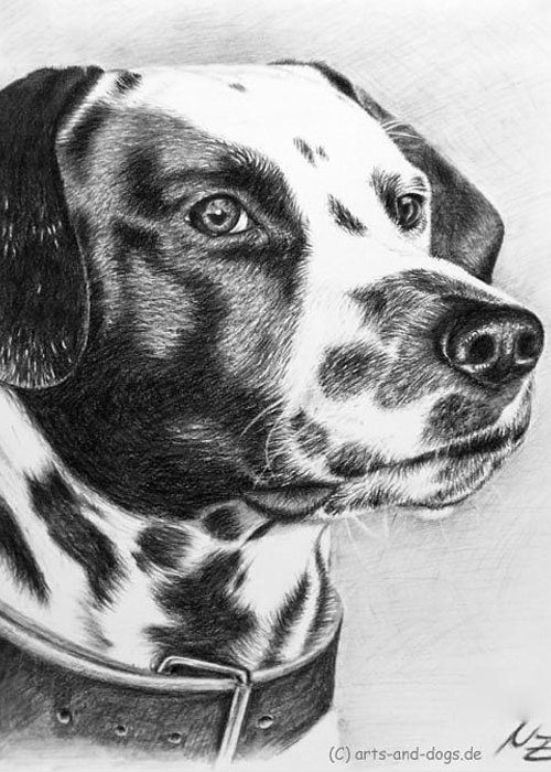 Dog Greeting Card featuring the drawing Dalmatian Portrait by Nicole Zeug