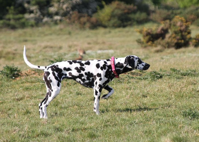 Dalmatian Pretending To Be A Pointer Greeting Card featuring the photograph Dalmation Pretending To Be A Pointer by Gordon Auld