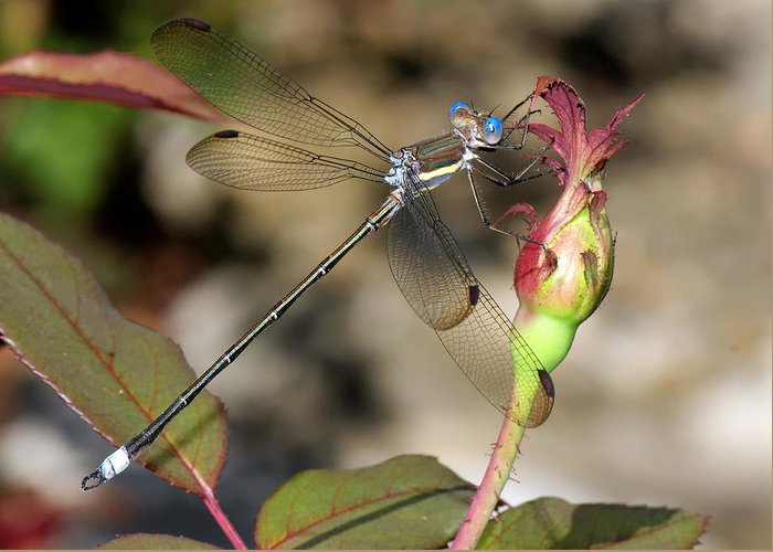 Beautiful Greeting Card featuring the photograph Damselfly Close-up by Charles Feagans