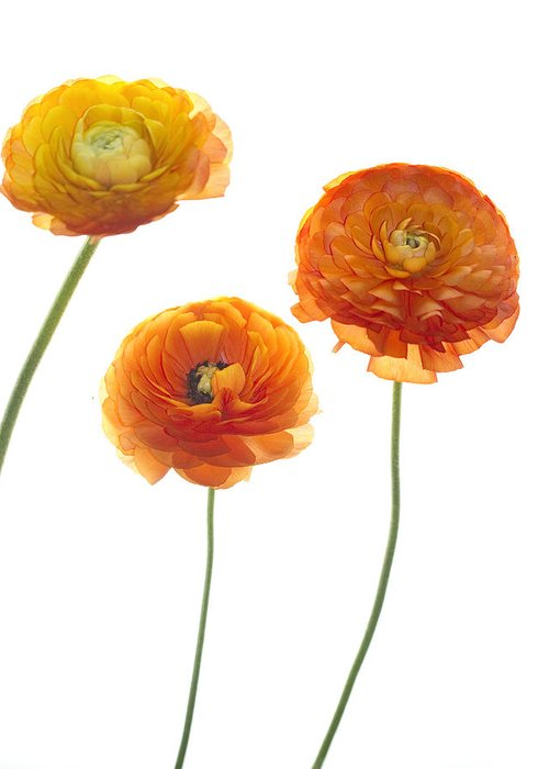 Ranunculus Greeting Card featuring the photograph Dancers by Rebecca Cozart