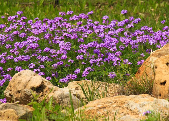 Lavender Flowers Greeting Card featuring the photograph Dancing Among Rocks by Diana Black