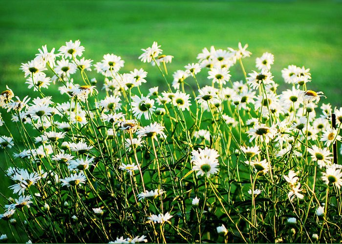 Daisy Greeting Card featuring the photograph Dancing Daisies by Val Stone Creager