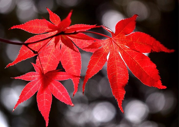 Maple Leaves Greeting Card featuring the photograph Dancing Japanese Maple by Rona Black