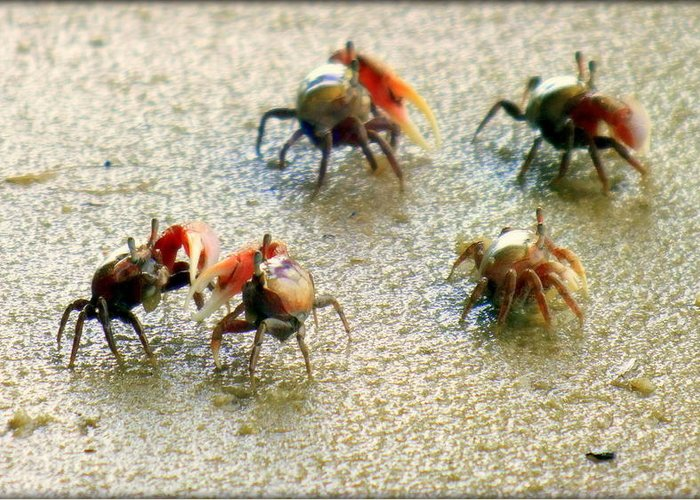 Crabs Greeting Card featuring the photograph Dancing Of The Fiddlers by Karen Wiles