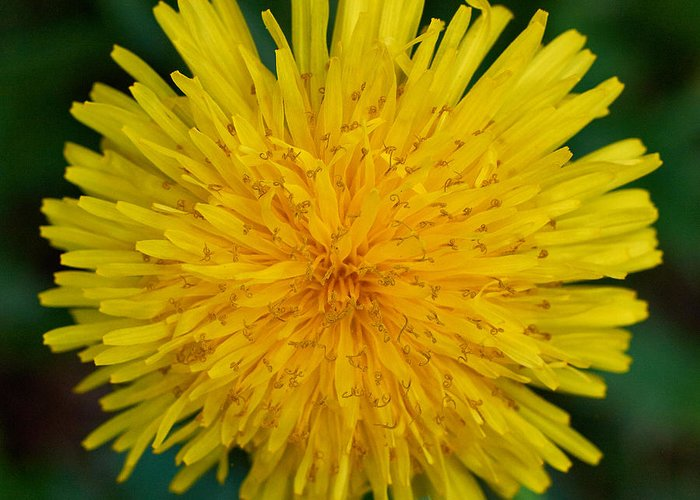 Finland Greeting Card featuring the photograph Dandelion by Jouko Lehto