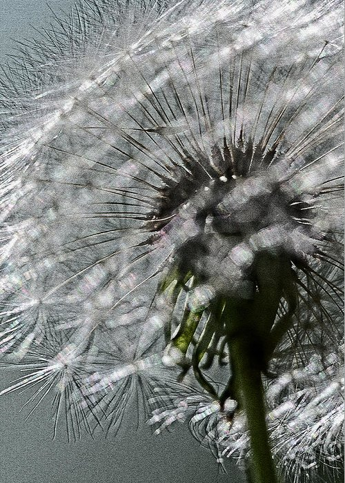 Flower Greeting Card featuring the photograph Dandelion by Keith Gondron