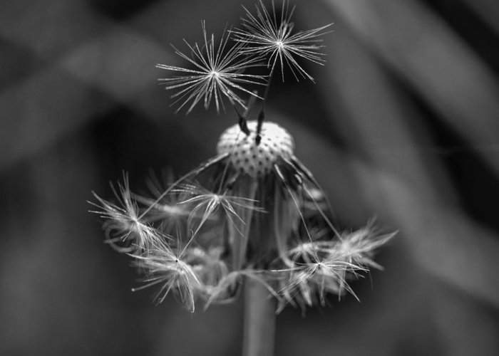 Dandelion Greeting Card featuring the photograph Dandelion by Paulo Goncalves