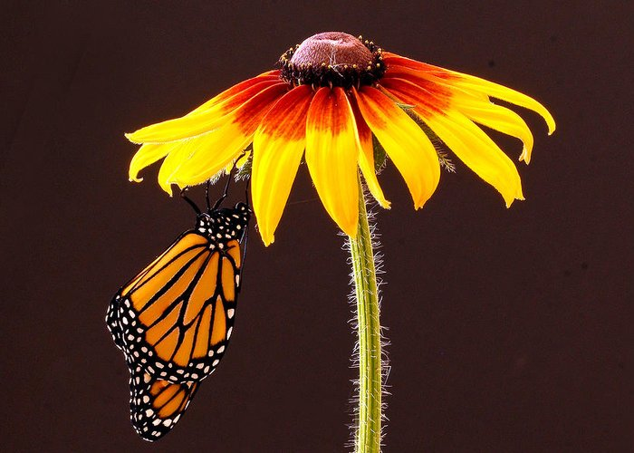 Animals Greeting Card featuring the photograph Dangling Monarch by Jean Noren