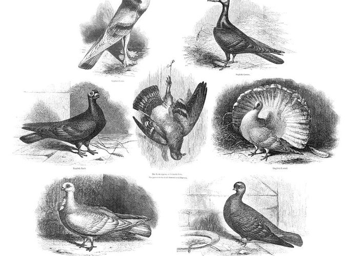 Rock Pigeon Greeting Card featuring the photograph Darwin On Pigeon Evolution by Natural History Museum, London