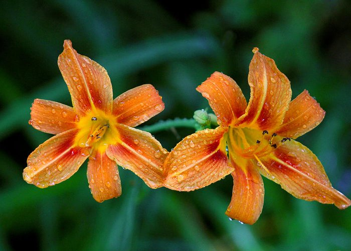 Garden Greeting Card featuring the photograph Day Lilies by Jim Vance