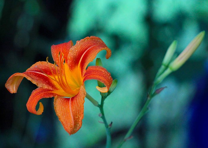 Flower Greeting Card featuring the photograph Day Lily 3 by Jim Vance