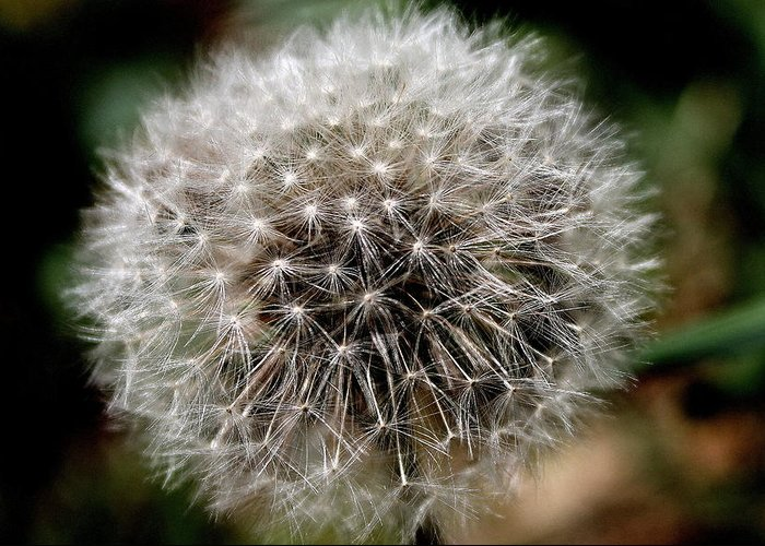 Dandelion Greeting Card featuring the photograph Death's Beauty by Candice Trimble