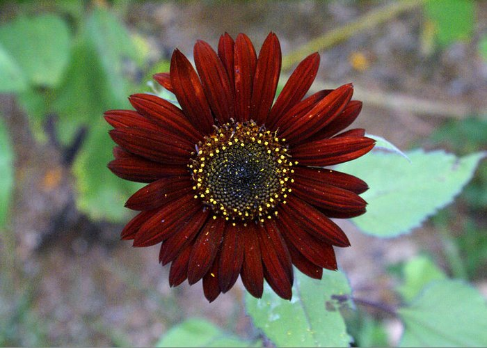 Red Greeting Card featuring the photograph Deep Red Sunflower by Michael Mercker