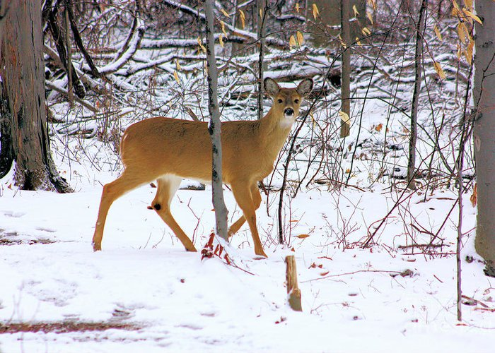 White Tail Deer Greeting Card featuring the photograph Deer In Winter 2011.no.3 by RL Clough