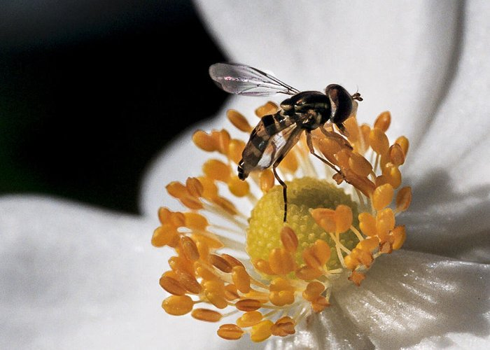 Hoverfly Greeting Card featuring the photograph Delicate by Caitlyn Grasso