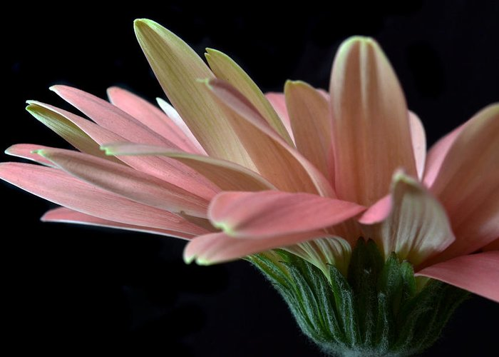 Gerbera Daisy Greeting Card featuring the photograph Delicate Petals. by Terence Davis