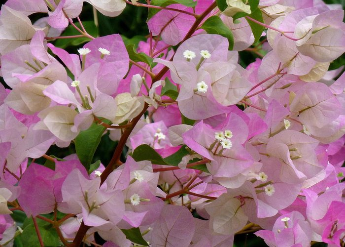 Plant Greeting Card featuring the photograph Delicate Pink Bougainvillea by Lori Seaman