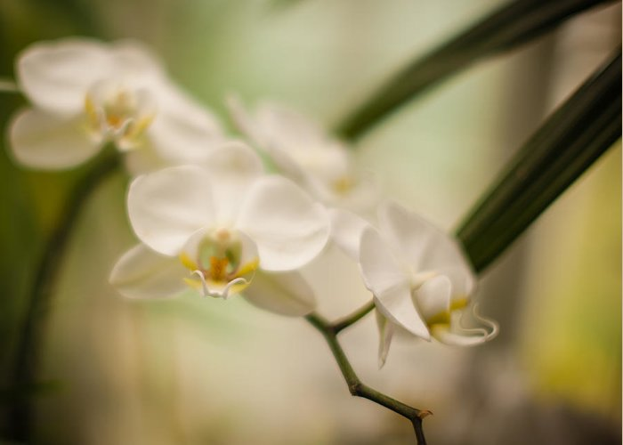 Orchid Greeting Card featuring the photograph Delicate Romance Lace by Mike Reid