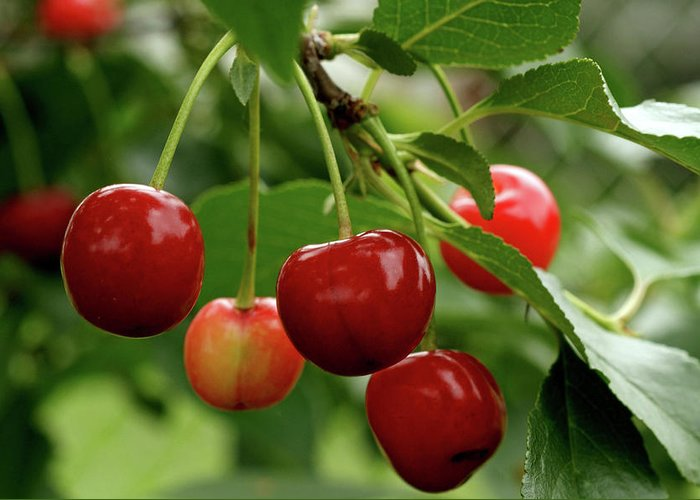 Cherry Greeting Card featuring the photograph Delicious Cherries by Sandy Keeton