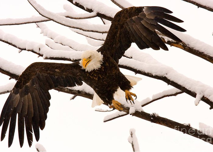 Bald Eagle Greeting Card featuring the photograph Departing by Aaron Whittemore