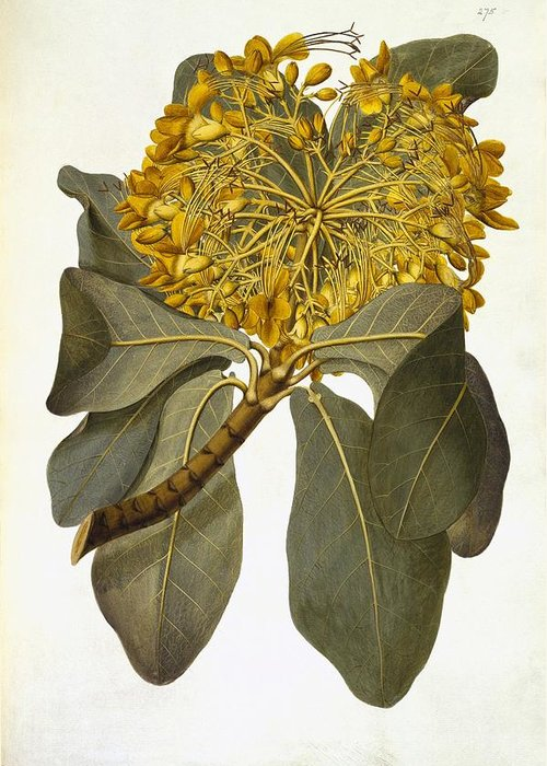 Golden Bouquet Tree Greeting Card featuring the photograph Deplanchea Tetraphylla, 1778 by Science Photo Library