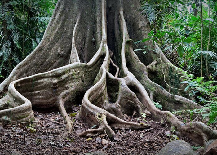 Ancient Greeting Card featuring the photograph Detail Tree Roots Rain Forest by Dirk Ercken