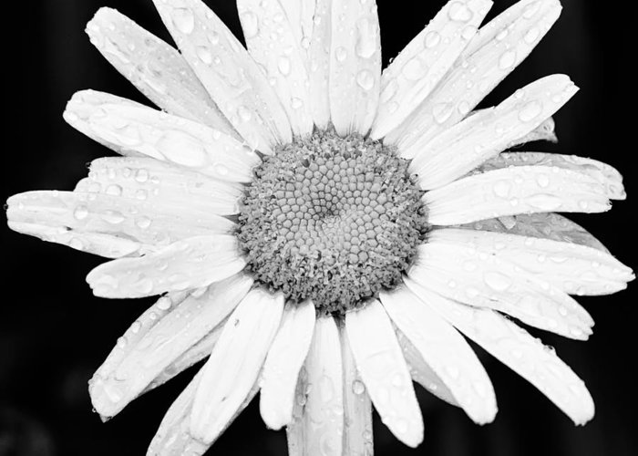 3scape Photos Greeting Card featuring the photograph Dew Drop Daisy by Adam Romanowicz
