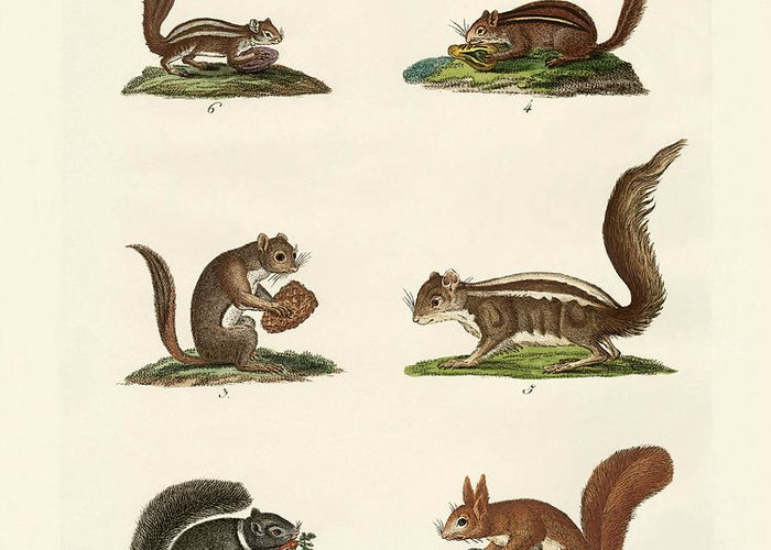 Eastern Fox Squirrel Drawings Greeting Cards