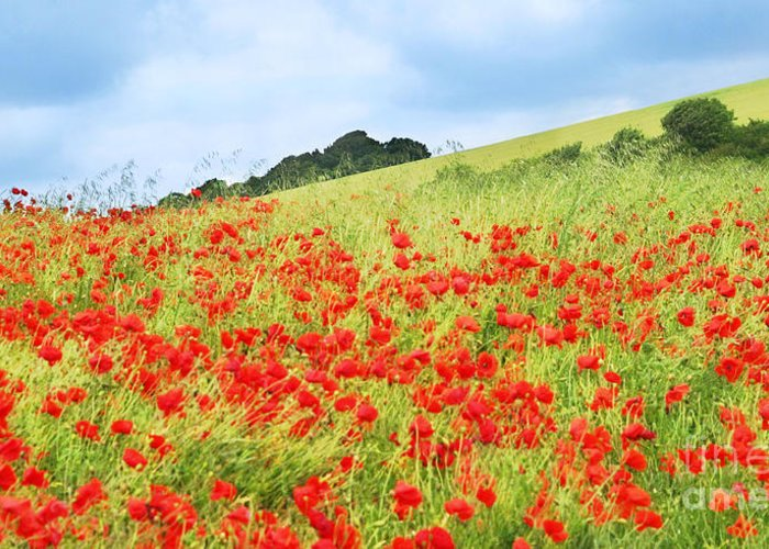 Poppy Greeting Card featuring the photograph Digital Art Field Of Poppies by Natalie Kinnear