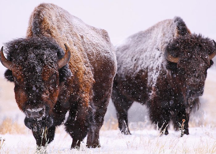 The American Buffalo Photographs Greeting Cards