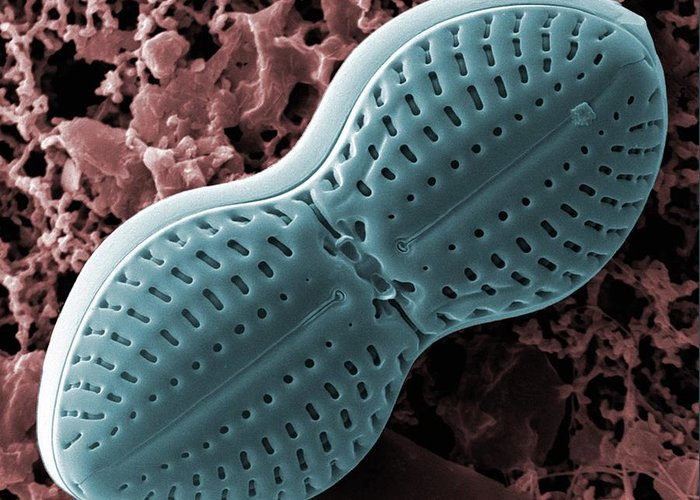 Diploneis Greeting Card featuring the photograph Diploneis Diatom, Sem by Science Photo Library