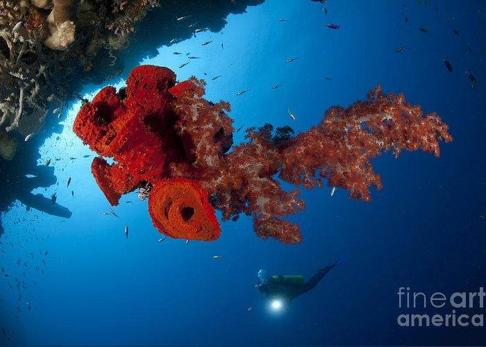 Anthozoa Greeting Card featuring the photograph Diver Looks On At A Bright Red Soft by Steve Jones