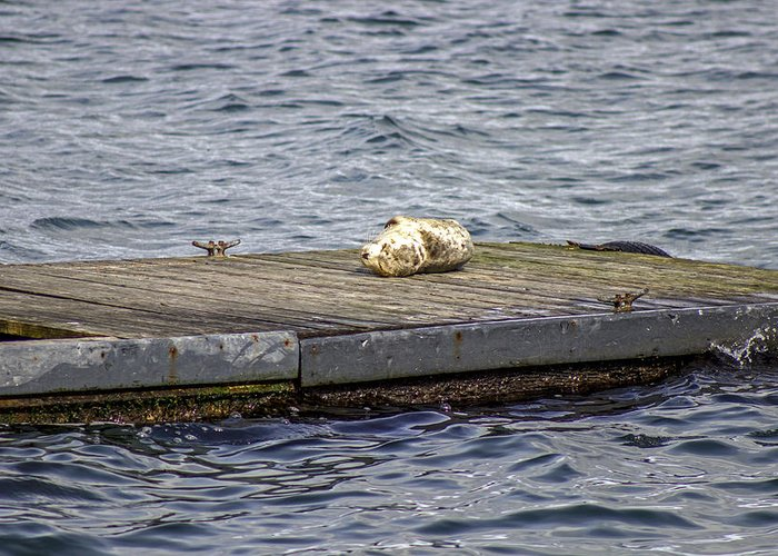 Harbor Seal Greeting Card featuring the photograph Do Not Disturb by Calazone's Flics