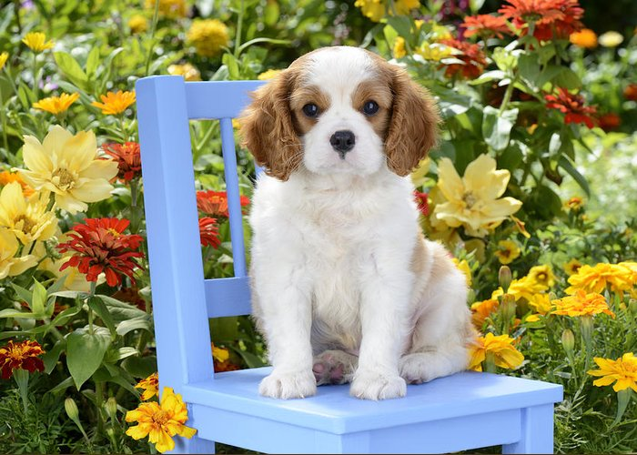 Cavalier Greeting Card featuring the photograph Dog On Blue Chair by Greg Cuddiford