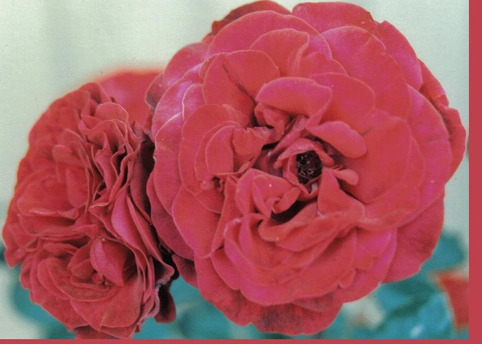 Rose Greeting Card featuring the photograph Double Desert Red Roses by Dusty Rose
