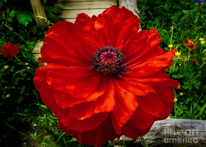 Poppy Greeting Card featuring the photograph Double Poppy by Robert Bales