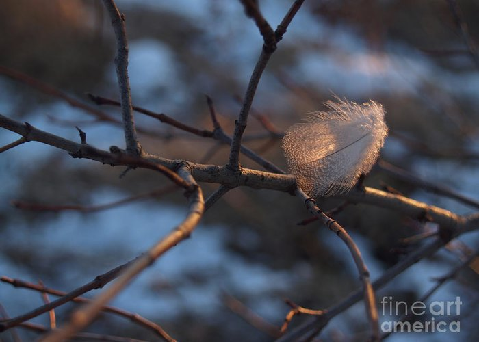 Branch Greeting Card featuring the photograph Downy Feather Backlit On Wintry Branch At Twilight by Anna Lisa Yoder