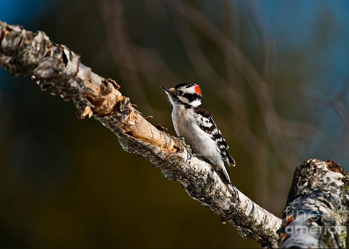 Downy Woodpecker Greeting Card featuring the photograph Downy Woodpecker Pictures 36 by World Wildlife Photography