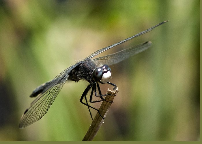 Dragonfly Greeting Card featuring the photograph Dragonfly 2 by Betty Depee