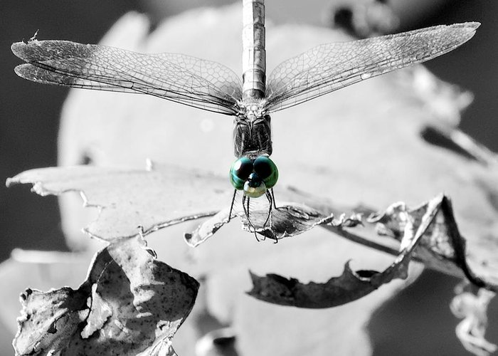 Bug Greeting Card featuring the photograph Dragonfly Contrast by Charles Feagans