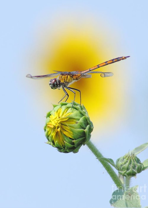 Nature Greeting Card featuring the photograph Dragonfly In Sunflowers by Robert Frederick