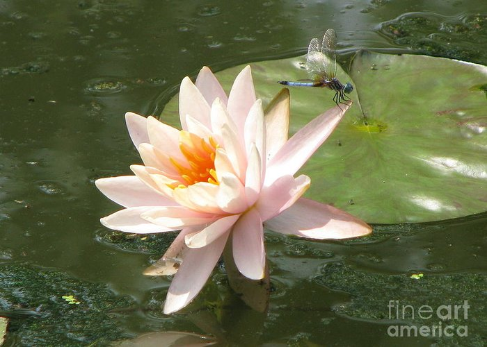 Dragon Fly Greeting Card featuring the photograph Dragonfly Landing by Amanda Barcon