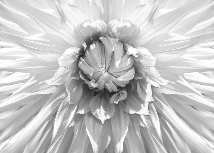 Dahlia Greeting Card featuring the photograph Dramatic White Dahlia Flower Monochrome by Jennie Marie Schell