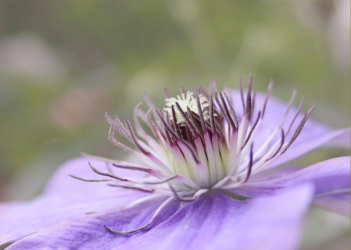 Purple Flower Greeting Card featuring the photograph Dreaming by Kim Hojnacki