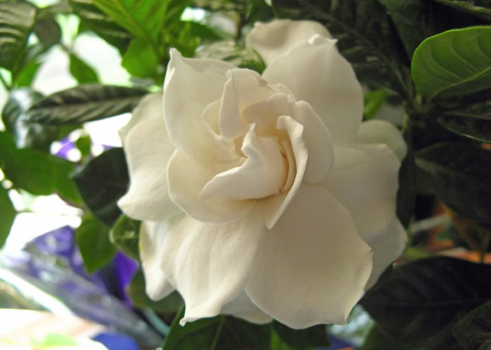 Gardenia Greeting Card featuring the photograph Dreamy Creamy Gardenia by Barbara McDevitt