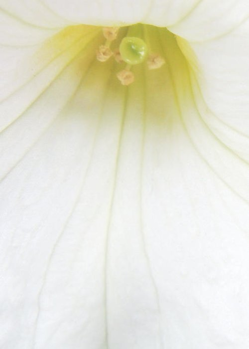 Petunia Greeting Card featuring the photograph Dressed In White by Donna Blackhall