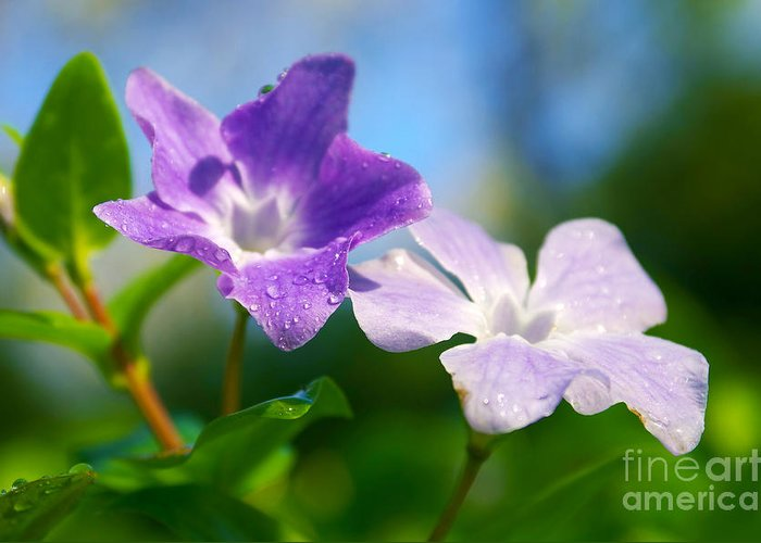 Abstract Greeting Card featuring the photograph Drops On Violets by Carlos Caetano
