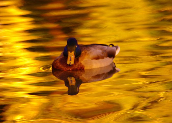 Ducks Greeting Card featuring the photograph Duck On Golden Water by Jeff Swan