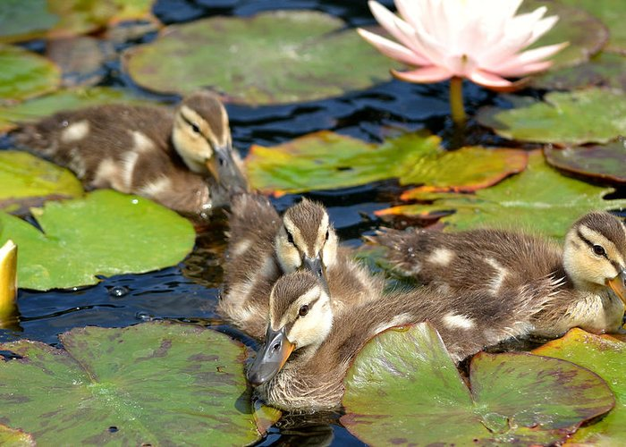 Baby Ducks Greeting Card featuring the photograph Duck Soup 2 by Fraida Gutovich